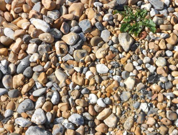 A closeup of the shingle. Just one little plant, and I found it!