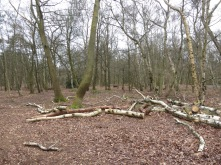 Fallen trees everywhere - mostly Silver Birch